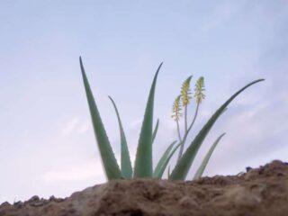 photo plante aloe vera