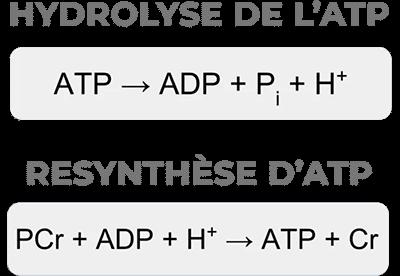 schéma hydrolyse synthèse atp
