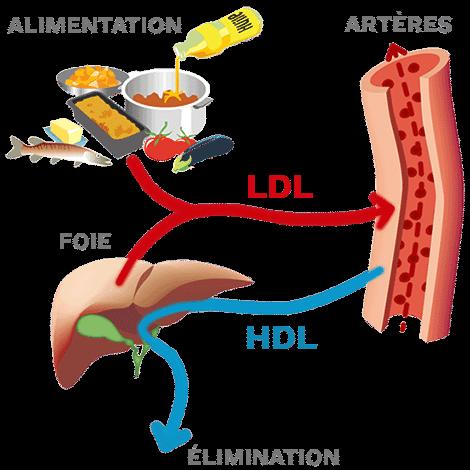 schéma transport cholestérol hdl ldl