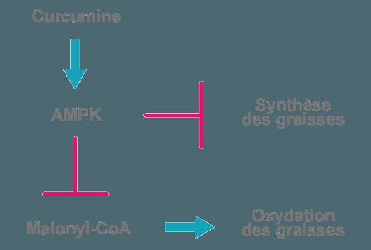 schéma effet curcumine métabolisme graisse ampk