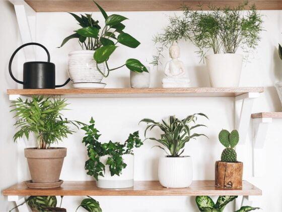 plante décorative intérieur