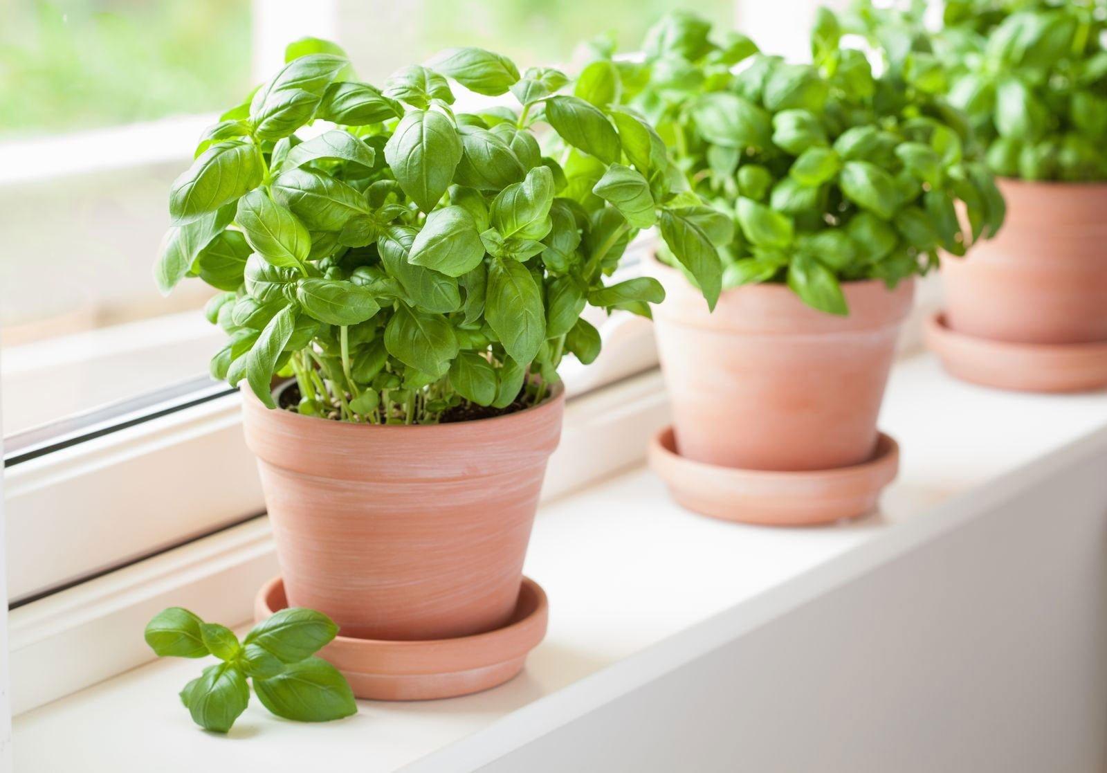 plantes aromatiques appartement