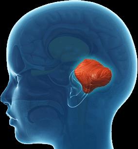schéma cervelet