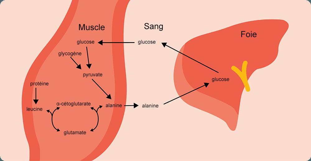 Le rôle de la leucine dans le cycle glucose-alanine