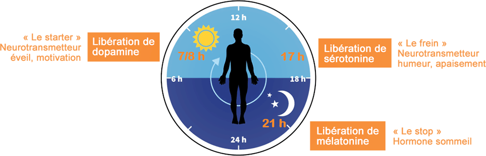 schéma cycle circadien