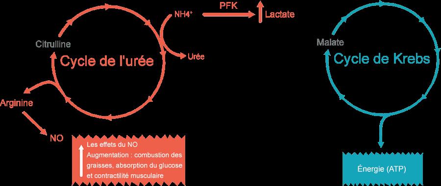 effets de la citrulline et du malate