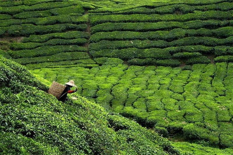 Travailleur cueillant des feuilles de thé dans une plantation de thé
