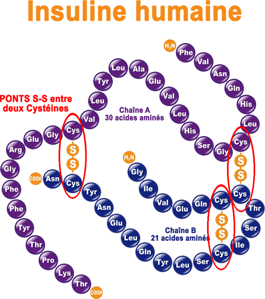 Insuline humaine formule chimique