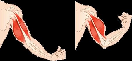 schéma contraction musculaire