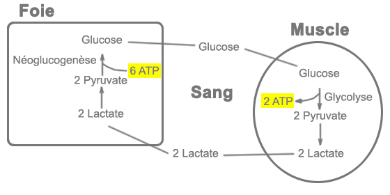 Schéma du cycle de Cori
