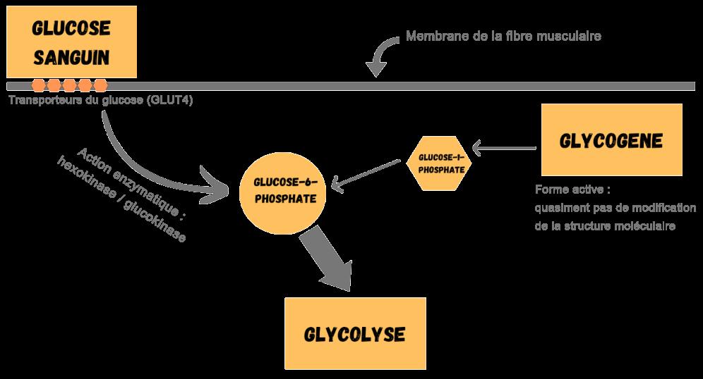Transformation glucose et glycogène