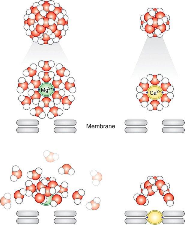 différence magnésium calcium