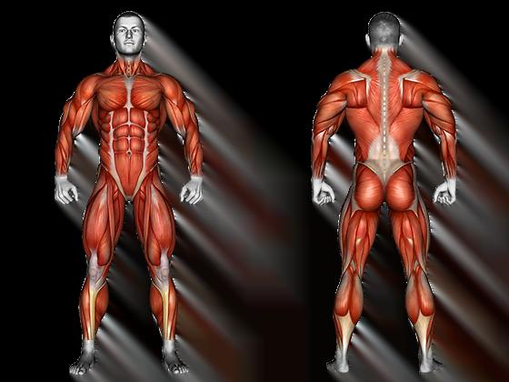 anatomie muscles corps humain