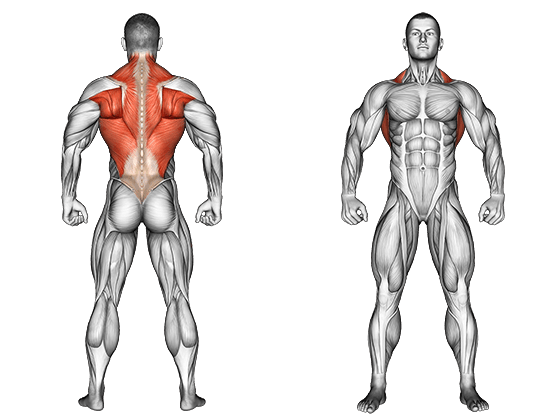 anatomie muscles du dos