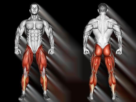 anatomie muscles membres inférieurs
