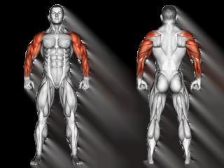 anatomie muscles membres supérieurs