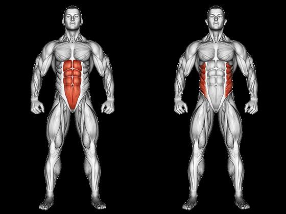 anatomie muscles région abdominale