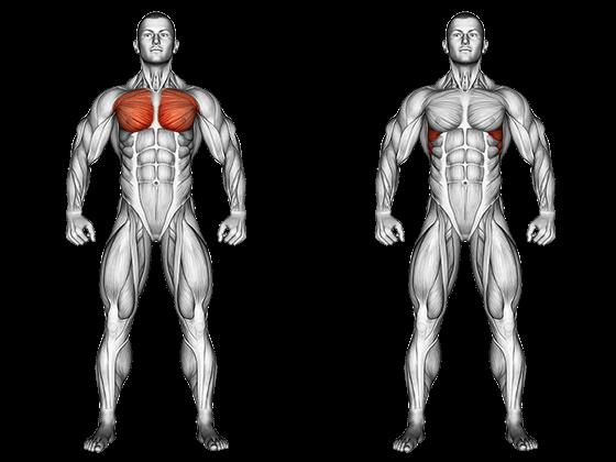 anatomie muscles région pectorale